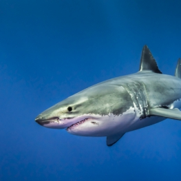 Mexico-Guadalupe-Great-White-Shark