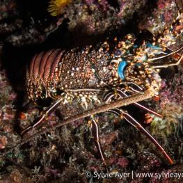©-Sylvie-Ayer-Costa-Rica-Cocos-Island-Spiny-lobster-Panulirus-penicillatus