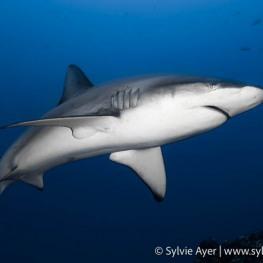 ©Sylvie-Ayer-Coco-Island-Costa-Rica-galapagos-shark-3