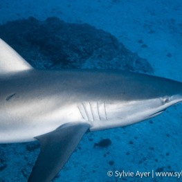 ©Sylvie-Ayer-Coco-Island-Costa-Rica-galapagos-shark-4