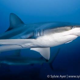 ©Sylvie-Ayer-Coco-Island-Costa-Rica-galapagos-shark