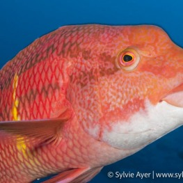 ©Sylvie-Ayer-Coco-Island-Costa-Rica-mexican-hogfish