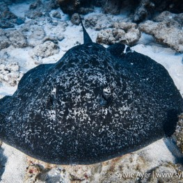 ©Sylvie-Ayer-Coco-Island-Costa-Rica-sting-ray-2