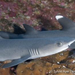©Sylvie-Ayer-Coco-Island-Costa-Rica-whitetip-sharks-2