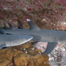 ©Sylvie-Ayer-Coco-Island-Costa-Rica-whitetip-sharks