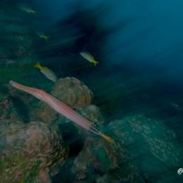 ©-Sylvie-Ayer-Costa-Rica-Cocos-Island-artistique-trumpet-fish