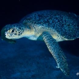 ©-Sylvie-Ayer-Costa-Rica-Cocos-Island-sea-turtle