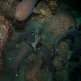 ©-Sylvie-Ayer-Costa-Rica-Cocos-Island-white-tip-shark-night