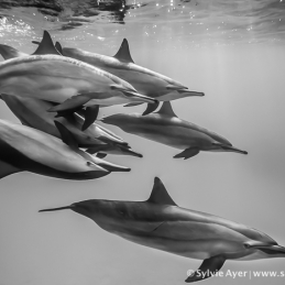 ©-Sylvie-Ayer-Egypt-Dolphins-Black-and-white