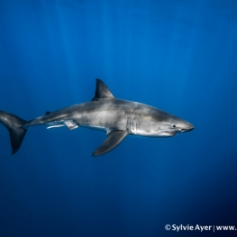 ©-Sylvie-Ayer-Mexico-Guadalupe--Great-white-shark