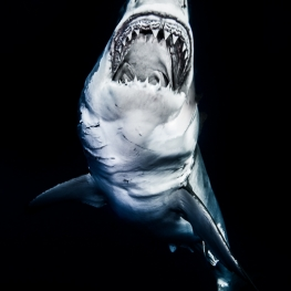 ©-Sylvie-Ayer-Mexico-Guadalupe-Great-white-shark-8