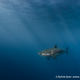 ©-Sylvie-Ayer-Mexico-Guadalupe-Great-white-shark