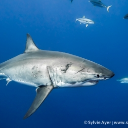 ©-Sylvie-Ayer-Mexico-Guadalupe-Great-white-shark-2