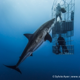 ©-Sylvie-Ayer-Mexico-Guadalupe-Great-white-shark-3