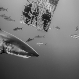 ©-Sylvie-Ayer-Mexico-Guadalupe-Great-white-shark-4
