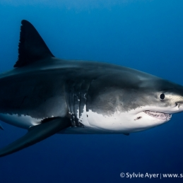 ©-Sylvie-Ayer-Mexico-Guadalupe-Great-white-shark-9