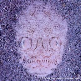 ©-Sylvie-Ayer-Indonesia-Komodo-Stargazer-uranoscope