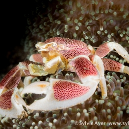 ©-Sylvie-Ayer-Indonesia-Komodo-porcelain-crab