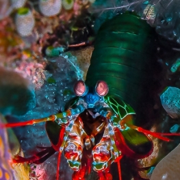 ©-Sylvie-Ayer-indonéesie-komodo-mantis-shrimp