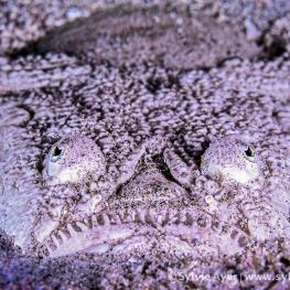 ©-Sylvie-Ayer-indonéesie-komodo-stargazer-fish