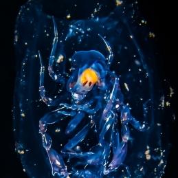 ©-Sylvie-Ayer-indonéesie-komodo-zooplancton