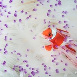 ©-Sylvie-Ayer-Indonesia-Komodo-Clown-Fish-white-anemone