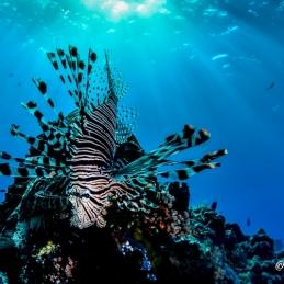 ©-Sylvie-Ayer-Indonesia-Komodo-Indian-Lion-Fish