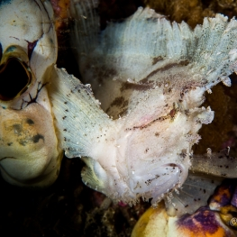 ©-Sylvie-Ayer-Indonesia-Komodo-Leaf-Scorpionfish-Taenianotus-triacanthus