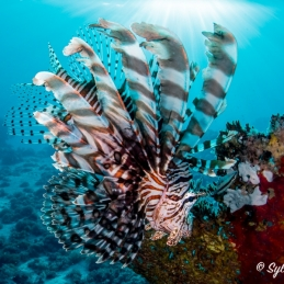 ©-Sylvie-Ayer-Indonesia-Komodo-Longspine-lionfish-Pterois-andover