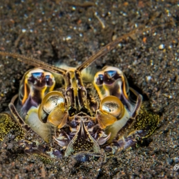 ©-Sylvie-Ayer-Indonesia-Komodo-Mantis-shrimp-Lysiosquilla-tredecimdentata
