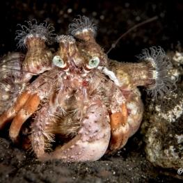 ©-Sylvie-Ayer-Indonesia-Komodo-Pale-anemone-hermit-crab-Dardanus-deformis