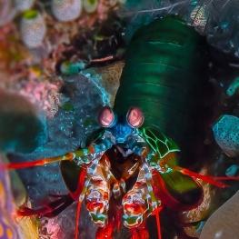 ©-Sylvie-Ayer-Indonesia-Komodo-Peacock-mantis-Odontodactylus-scyllarus