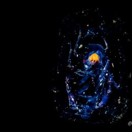©-Sylvie-Ayer-Indonesia-Komodo-Plancton