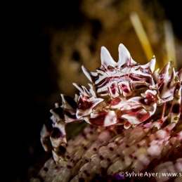 ©-Sylvie-Ayer-Indonesia-Komodo-Zebra-crab