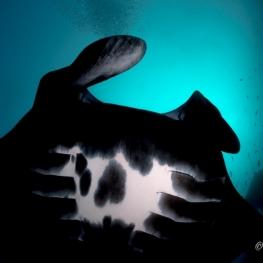 ©-Sylvie-Ayer-Indonesia-Komodo-black-reef-manta