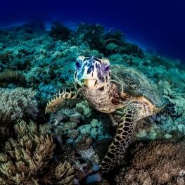 ©-Sylvie-Ayer-Indonesia-Komodo-hawksbill-sea-turtle-Eretmochelys-imbricata