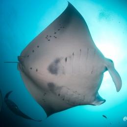 ©-Sylvie-Ayer-Indonesia-komodo-reef-manta