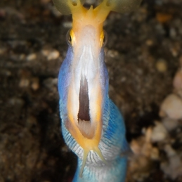 ©-Sylvie-Ayer-Indonesia-Lembeh-blue-ribbon-eel