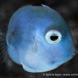 ©-Sylvie-Ayer-Indonesia-Lembeh-puffer-filefish