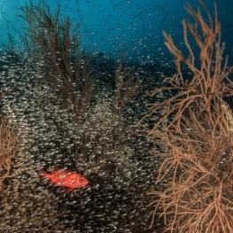 ©-Sylvie-Ayer-Maldives-Bigscale-soldierfish-ambiance