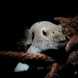 ©-Sylvie-Ayer-Maldives-Blackspotted-puffer-Arothron-nigropunctatus