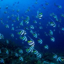 ©-Sylvie-Ayer-Maldives-Cocher-grégaire-Heniochus-diphreutes