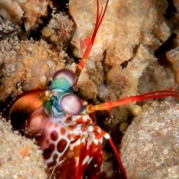 ©-Sylvie-Ayer-Maldives-Mantis-shrimp-Odontodactylidae