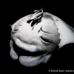 ©-Sylvie-Ayer-Maldives-Reef-manta-ray