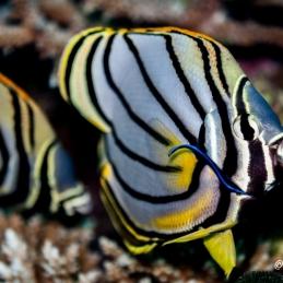 ©-Sylvie-Ayer-Maldives-Spot-banded-Butterflyfish-Chaetodon-punctatofasciatus