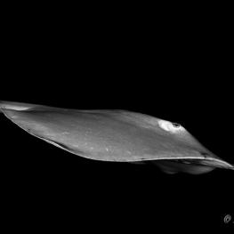 ©-Sylvie-Ayer-Maldives-Sting-ray-Dasyatidae