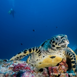 ©-Sylvie-Ayer-Maldives-Turtle