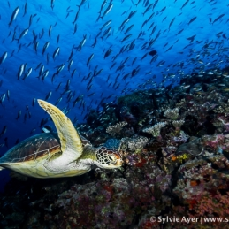 ©-Sylvie-Ayer-Maldives-Green-Turtle