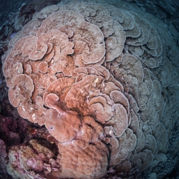 ©-Sylvie-Ayer-Maldives-ambiance-hard-corals