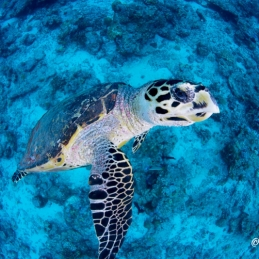 ©-Sylvie-Ayer-Maldives-hawksbill-sea-turtle-Eretmochelys-imbricata